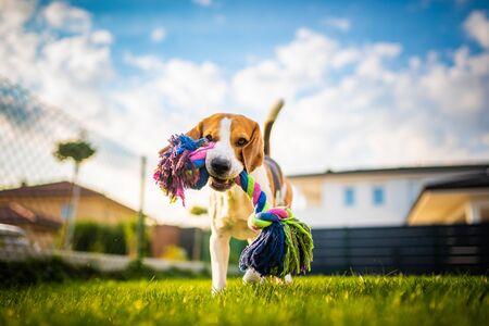 Beagle dog fun in garden outdoors run and jump with rope towards camera Foto de archivo - 130136477