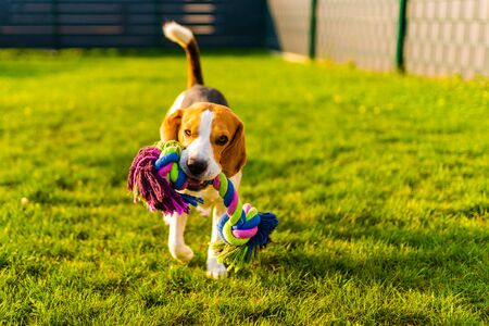 Beagle dog fun in garden outdoors run and jump with rope towards camera Foto de archivo - 130136478