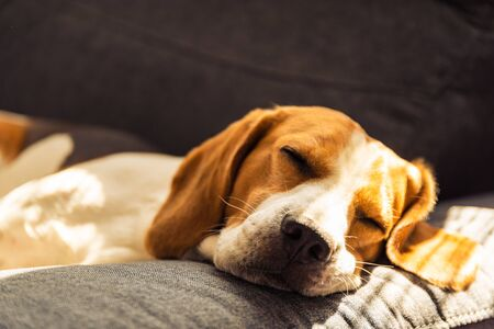 Dog lying, sleeping on the dark sofa. Canine background Stock fotó