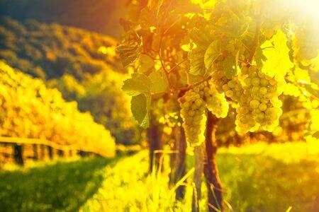 Green grapes on vine over bright background Archivio Fotografico - 130136507