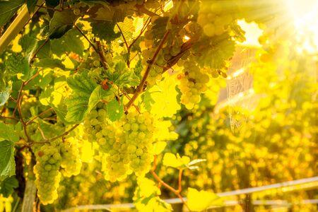 Green grapes on vine over bright background Archivio Fotografico - 130136511