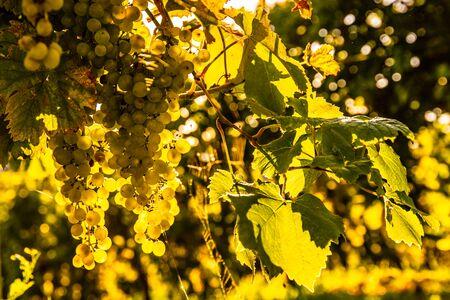 Green grapes on vineyard over bright green background. Sun flare Archivio Fotografico - 130136522