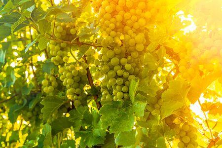 Green grapes on vineyard over bright green background. Sun flare Archivio Fotografico - 130136541
