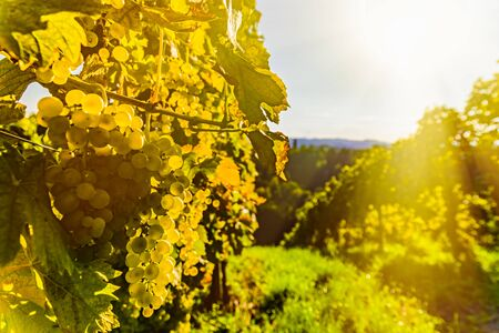 Green grapes on vineyard over bright green background. Landscape copy space. Archivio Fotografico - 130136542