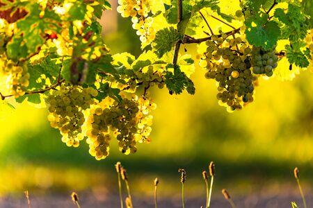 Green grapes on vineyard over bright green background. Sun flare Archivio Fotografico - 130136550