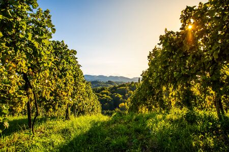 Green grapes on vineyard over bright green background. Landscape Archivio Fotografico - 130136554