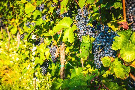 Red grapes on vineyard over bright green background. Autumn sun Archivio Fotografico - 130136559
