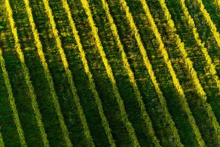 Rows Of Vineyard Grape Vines. Autumn Landscape. Austria south Styria . Abstract Background Of Autumn Vineyards Rows. Archivio Fotografico - 130136586