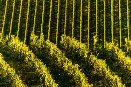 Rows Of Vineyard Grape Vines. Autumn Landscape. Austria south Styria . Abstract Background Of Autumn Vineyards Rows. Archivio Fotografico - 130136589
