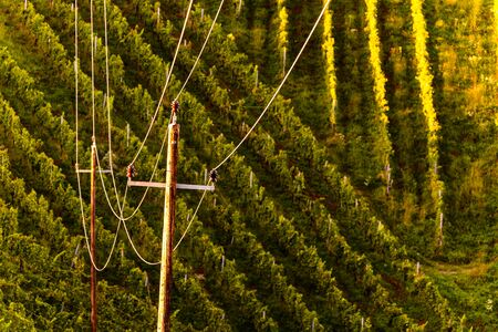Rows Of Vineyard Grape Vines. Autumn Landscape. Austria south Styria . Abstract Background Of Autumn Vineyards Rows. Archivio Fotografico - 130136596