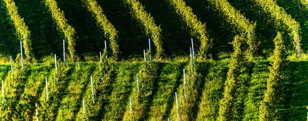Rows Of Vineyard Grape Vines. Autumn Landscape. Austria south Styria . Abstract Background Of Autumn Vineyards Rows. Archivio Fotografico - 130136595