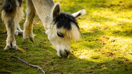 Furry white lama in zoo Austria Styria Herberstein tourist destination autumn time.