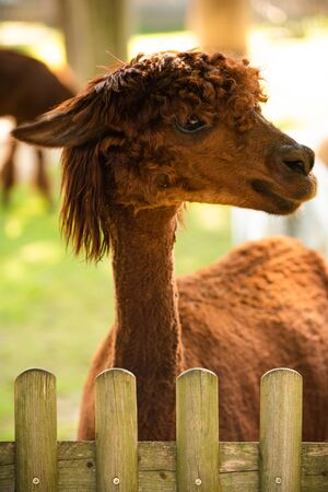Furry brown lama in zoo Austria Styria Herberstein tourist destination autumn time.