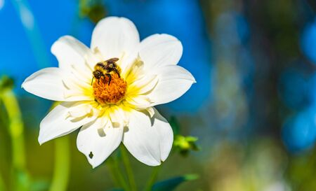 Bumble bee covered with yellow pollen collecting nectar from white flower against blurry background. Important for environment ecology sustainability. Stock fotó