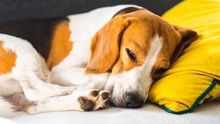 Funny Beagle dog tired sleeps on a cozy sofa, couch, on yellow cushion Stock fotó