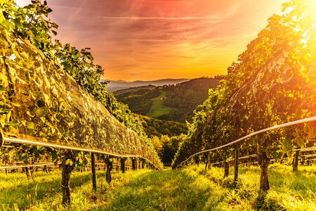 Sunset landscape of vineyard rows on Austrian countryside in Leibnitz Kitzeck im Sausal
