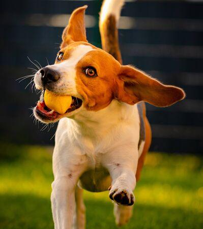 Beagle dog fun in garden outdoors run and jump with ball towards camera 스톡 콘텐츠