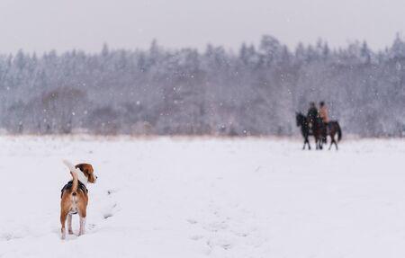 beagle dog outdoor portrait walking in snow Banco de Imagens
