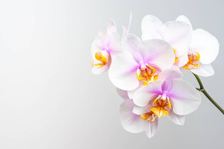 Pink orchid flowers on light background. Copy space on left Stock Photo