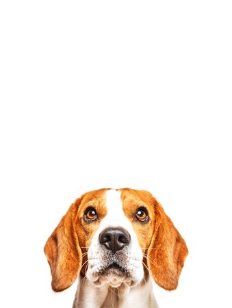 Close-up of Beagle dog, portrait, in front of white background. Looking up copys pace.