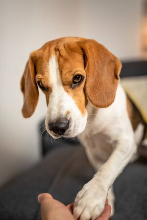 Adorable Beagle dog gives his paw on sofabackground. Obedience and training concept 스톡 콘텐츠