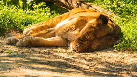 Stubenberg am See, Styria - Austria 15.09.2019: Male Lion in zoo Herberstein Austria resting in sun Banco de Imagens