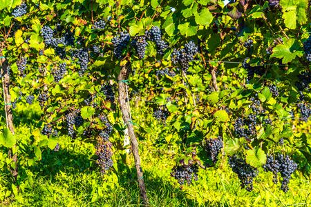 Red grapes on vine stock at wine yard, Austria south Styria. Wine country