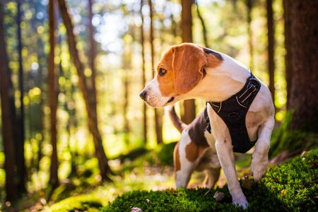 The beagle dog in sunny autumn forest. Alerted huond searching for scent and listening to the woods sounds. Hound concept Imagens
