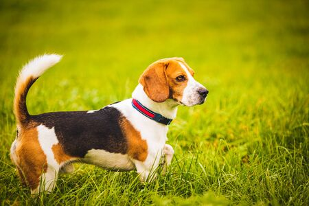 Portrait of a Beagle dog on the background of a green field in the autumn after the rain while running like crazy Stock Photo
