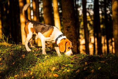 The beagle dog in sunny autumn forest. Alerted hound searching for scent and listening to the woods sounds. Stockfoto