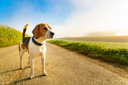 Dog purebreed beagle outdoors in nature on a rural asphalt road to forest between fields. Sunny day countryside sunrise. Copy space on right