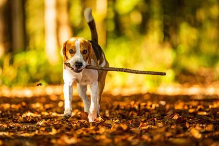 Happy beagle dog fetching a stick in autumn forest. Portrait with shallow nature background