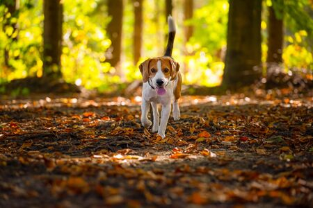 The beagle dog in sunny autumn forest. Alerted hound searching for scent and listening to the woods sounds. Sunny fall Stockfoto