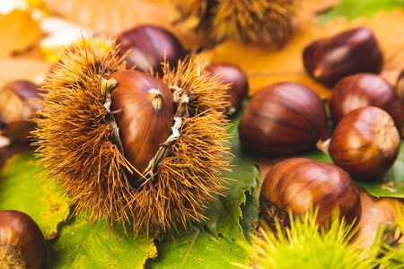 Ripe chestnuts close up. Raw Chestnuts for Christmas Autumn time. Chestnuts in Austria Banco de Imagens