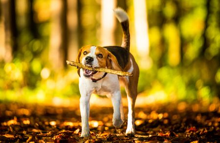 The beagle dog in sunny autumn forest. Hound with a stick in woods. Hound concept