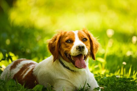 Epagneul Breton, spaniel breton, Brittany Spaniel, Bretonischer Spaniel lying in grass hidding from summer sun. Canine background Stock fotó