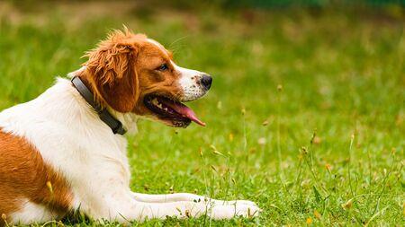 Epagneul Breton, spaniel breton, Brittany Spaniel, Bretonischer Spaniel lying in grass. Canine concept