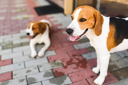 Epagneul Breton, Brittany Spaniel and Beagle dog. Two hounds resting in shade on cool bricked sidewalk next to a house. Canine background