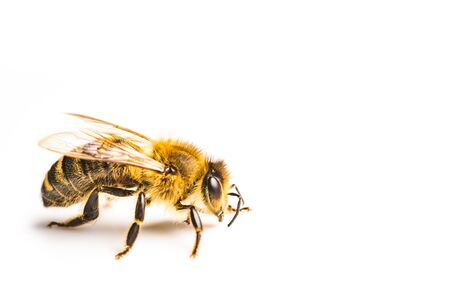 Honey bee macro, isolated on white background. Bee concept. Copy space on right Banco de Imagens