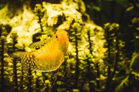 Aquarium Fish Golden gourami Trichogaster trichopterus Gold in fish tank.