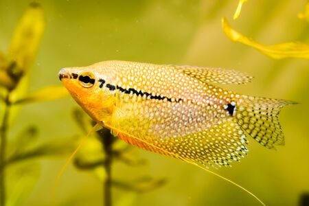 Pearl gourami Trichopodus leerii freshwater aquarium fish in fish tank. Aquaria concept.