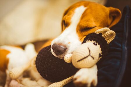 Adorable Beagle dog sleeping with his favorite sheep toy. Canine background. Lazy rainy day on couch.