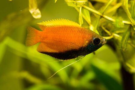 Honey gourami Trichogaster chuna tropical aquarium fish in fish tank. Colorfull male fish. Aquaria concept.