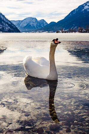 White swans on the Grundlsee lake. Styria stare of Austria, Europe. Winter landscape of Alps. Traveling concept background.