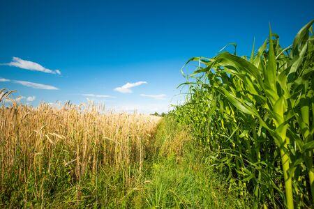 Campo de maíz de maíz contra el cielo azul en verano. Foto de archivo