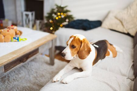Dog indoors on a sofa portrait in bright room. Dog background Stok Fotoğraf