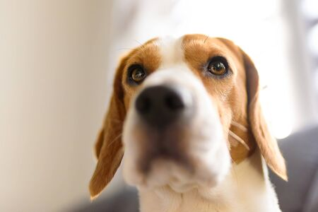 Portrait of purebred beagle dog sitting on couch in living room. Head closeup in bright room. Reklamní fotografie