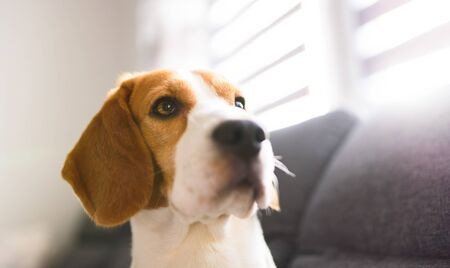 Portrait of purebred beagle dog sitting on couch in living room. Head closeup in bright room. Pet concept Reklamní fotografie