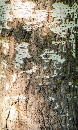 Birch bark texture, natural tree pattern. birch background.
