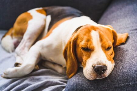 Adorable beagle hound in bright interior background. A pet sitting on the sofa with sad face. Depression concept Reklamní fotografie